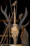 在房子Mentawai部落的礼节动物头骨 图库摄影