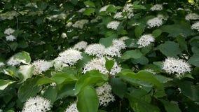 在所有它的荣耀的一巨大的灌木spirea 开花的spirea秀丽 库存图片