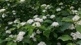 在所有它的荣耀的一巨大的灌木spirea 开花的spirea秀丽 免版税图库摄影