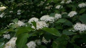 在所有它的荣耀的一巨大的灌木spirea 开花的spirea秀丽 免版税库存图片