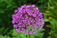 在所有它的荣耀的美丽的野葱葱属ursinum在一明亮的好日子 库存图片