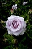 在所有它的辉煌的一朵开头完善的紫色玫瑰 库存照片