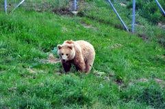 在所有的Prishtina附近负担圣所Kosovo's私下被保留的棕熊 库存图片