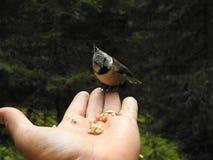 在手上栖息的一只有顶饰山雀 库存照片