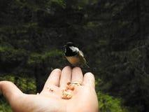 在手上栖息的一只有顶饰山雀 免版税库存图片