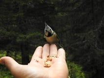 在手上栖息的一只有顶饰山雀 库存图片