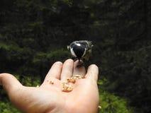在手上栖息的一只有顶饰山雀 图库摄影