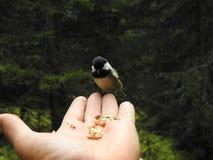 在手上栖息的山雀 库存照片