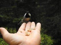 在手上栖息的山雀 免版税库存照片