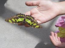 在手上的热带蝴蝶 库存照片