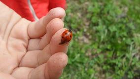 在手上的瓢虫 免版税库存图片