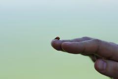 在手上的瓢虫 库存图片