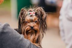 在手上的约克夏狗 免版税库存图片
