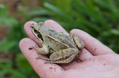 在手上的青蛙 免版税图库摄影