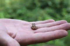 在手上的青蛙 库存图片