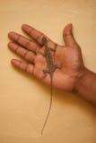 在手上的飞行蜥蜴,素叻他尼,泰国 图库摄影