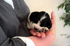 在手中休息西班牙猎狗的小狗 免版税图库摄影