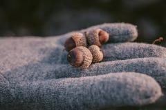 在手中关闭橡子看法作为背景 极少数与选择聚焦的橡子 库存照片
