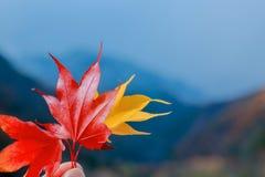 在手中槭树红色和黄色叶子,特写镜头 库存照片
