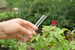 在手中试管水,玫瑰色植物在背景中 免版税库存照片
