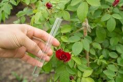 在手中试管水,玫瑰色植物在背景中 库存图片