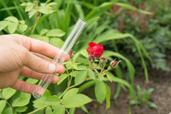 在手中试管水,玫瑰色植物在背景中 免版税库存图片