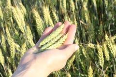 在手中麦子钉,以麦田为背景 免版税库存图片