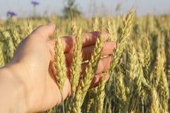 在手中麦子钉,以麦田为背景 免版税库存照片