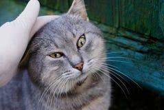 在手套的一只手抚摸在街道上的一只灰色猫 免版税库存图片