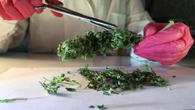 在手套的实验室手与剪刀切开了分析的大麻