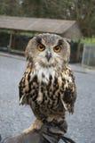 在手套的手上的猫头鹰 免版税库存图片