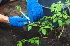 在手套裁减的手剪灌木玫瑰秋天天 库存照片
