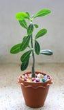 在手工制造花盆的沙漠玫瑰色紫葳藤 免版税图库摄影