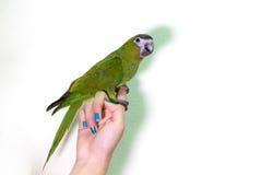 在手指女性的逗人喜爱的绿色金刚鹦鹉鸟 图库摄影