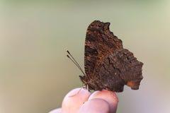 在手指技巧的大棕色蝴蝶 免版税库存图片