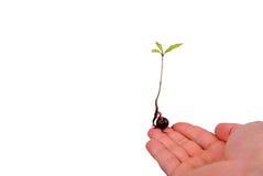 在手指的树幼木 免版税库存照片