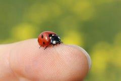 在手指的瓢虫 库存图片