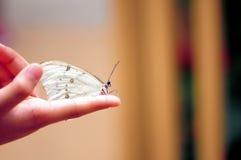 在手指的白色morpho蝴蝶 库存图片
