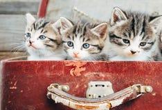 在手提箱坐的逗人喜爱的小猫 免版税库存图片