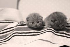 在手提箱的两只英国Shorthair小猫 免版税图库摄影