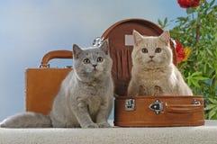 在手提箱的两只英国shorthair猫 库存照片