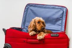 在手提箱的猎犬狗 免版税图库摄影