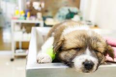 在手术台上的不适的小狗和睡眠 免版税库存图片