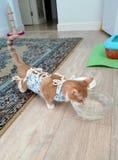 在手术饮用水以后的猫 库存图片