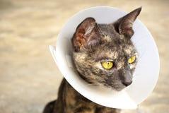在手术以后的猫佩带的脖子衣领 库存照片