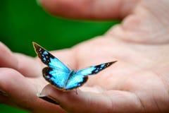 在手的棕榈的蓝色蝴蝶 免版税库存照片