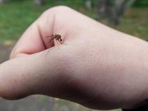 在手边坐的蚊子 免版税库存照片
