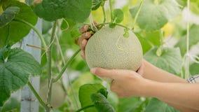 在手边生长农夫的年轻绿色瓜或甜瓜自温室 免版税库存图片