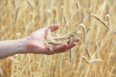 在手边黑麦的耳朵,迷离黑麦在背景中归档了 库存图片