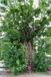 在打包机的千年树 库存照片